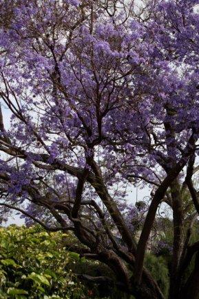jaranda tree