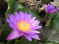 lotus beauty