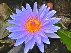 water lilies and lotus flowers bloom in summer